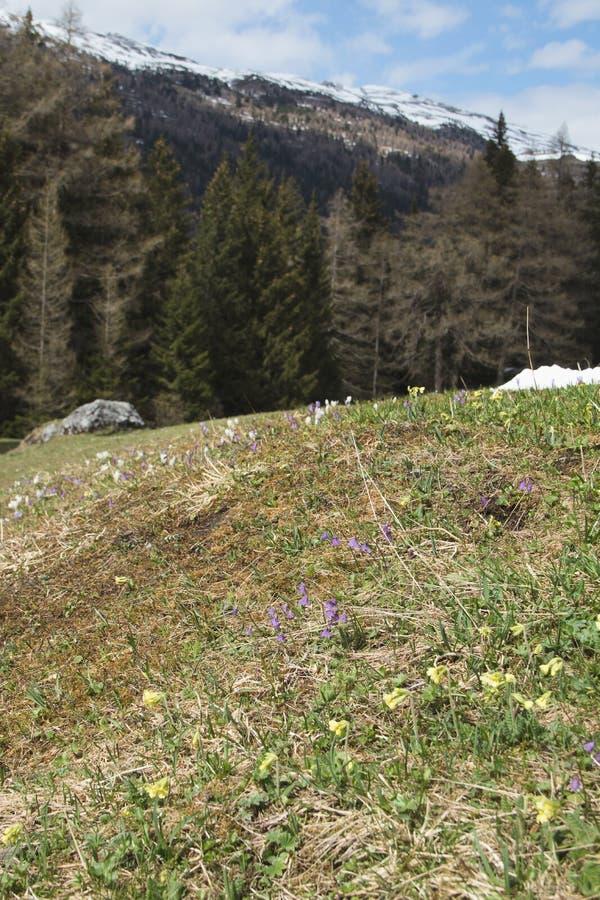 Alpin våräng royaltyfria foton