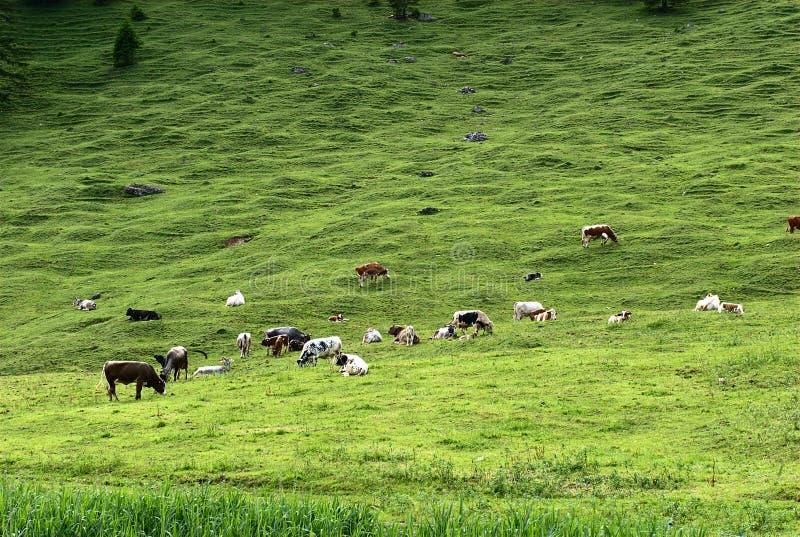 Alpin Vieh lizenzfreie stockbilder