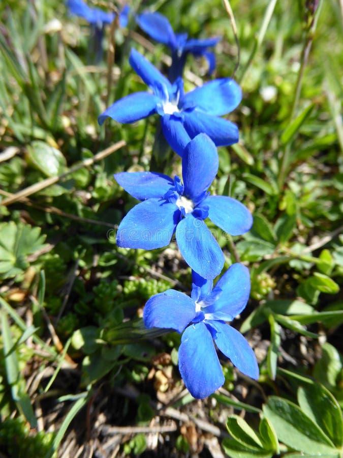 alpina blåa blommor royaltyfri bild