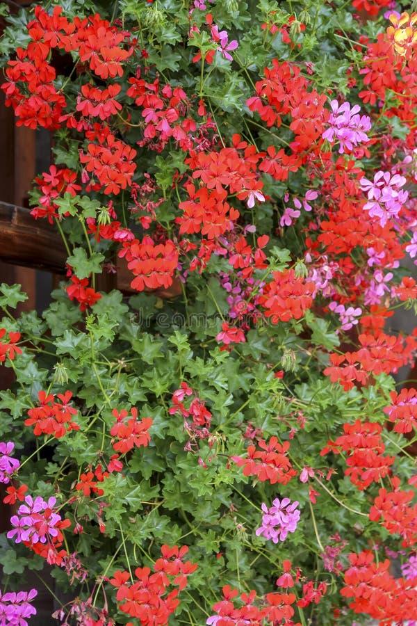Alpina blommor i den Gressoney dalen nära Monte Rosa royaltyfri foto
