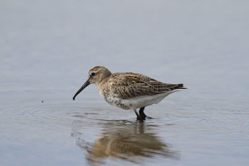Alpina Calidris Dunlin, ένα μέσου μεγέθους μπεκατσίνι και shorebird που ψάχνουν για τα τρόφιμα στεμένος στο νερό στοκ εικόνες
