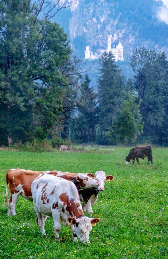 Alpina kor med horn, calfs, äng, betar, flocken framme av skogen, granträd, berömda Neuschwanstein arkivfoto