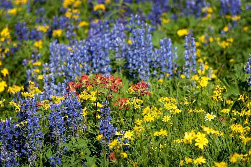alpina vildblommar royaltyfri foto