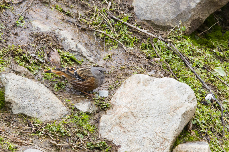 Alpine Accentor stock photography