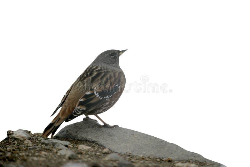 Alpine accentor, Prunella collaris stock photos
