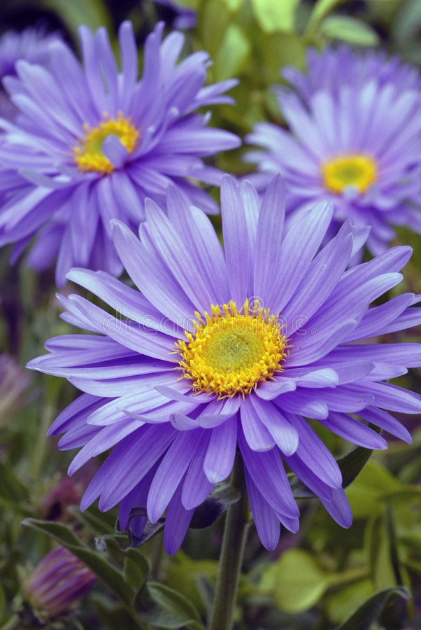 Free Alpine Aster Royalty Free Stock Images - 2594989