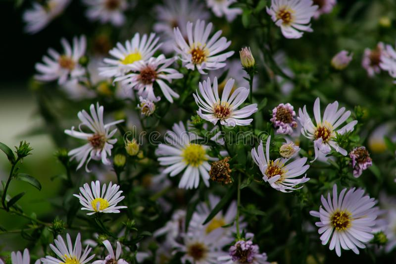 Alpine Aster Aster alpinus . Decorative garden plant with purple flowers. Beautiful perennial plant for rock garden stock photos