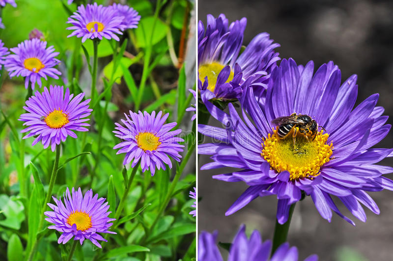 The Alpine Aster (Aster alpinus) stock images