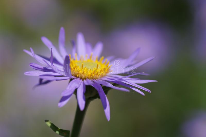 Alpine aster stock photography