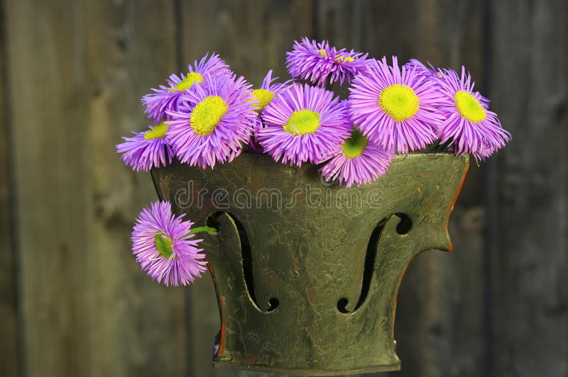 Alpine Aster in violin pot. Alpine Aster flowers in a violin pot on wooden background stock photo