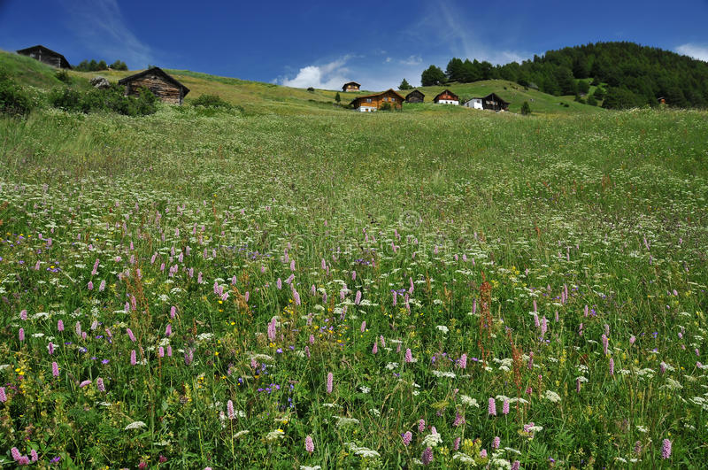 Alpine chalets in alpine meadows. Traditional alpine chalets in meadows filled with flowers royalty free stock photos