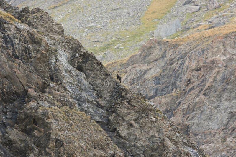 Chamois alpine stock photos