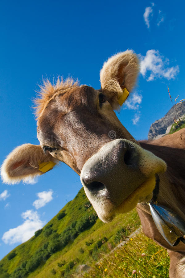 Alpine cow on green meadow stock images