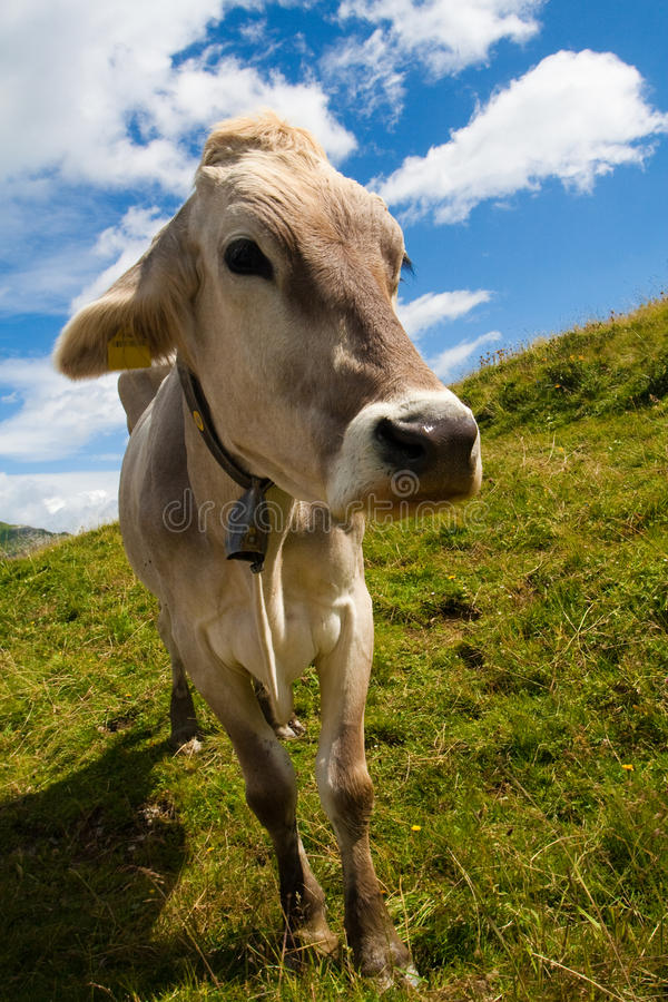 Download Alpine cow on green meadow stock photo. Image of looking - 11290462