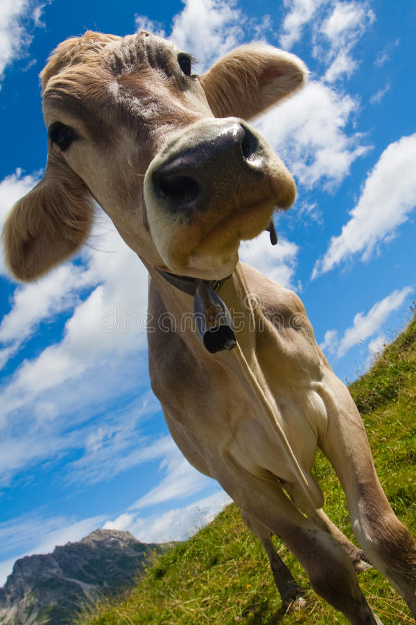 Download Alpine cow on green meadow stock photo. Image of austria - 11753726