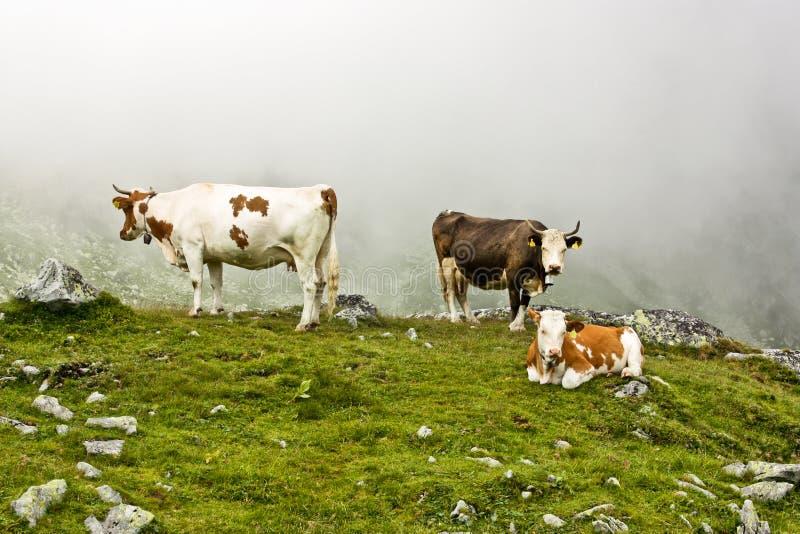 Alpine Cows Stock Photos