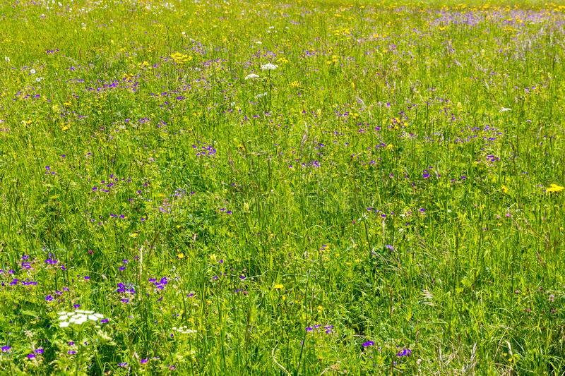 Alpine field fresh green meadows and blooming spring flowers royalty free stock photography