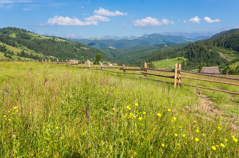 The alpine fields grow beautiful spring. Wild daffodils royalty free stock images