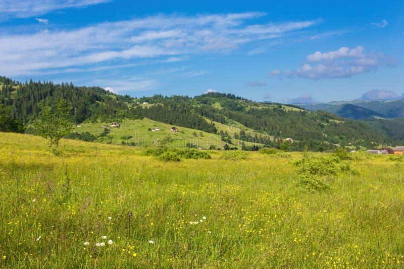 The alpine fields grow beautiful spring. Wild daffodils royalty free stock photography
