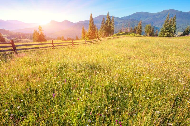 The alpine fields grow beautiful spring. Wild daffodils stock photo
