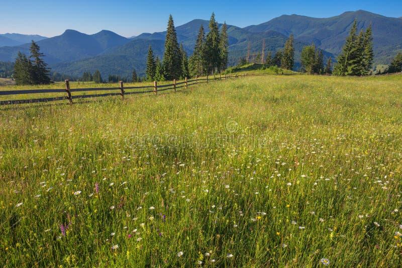 The alpine fields grow beautiful spring. Wild daffodils royalty free stock image