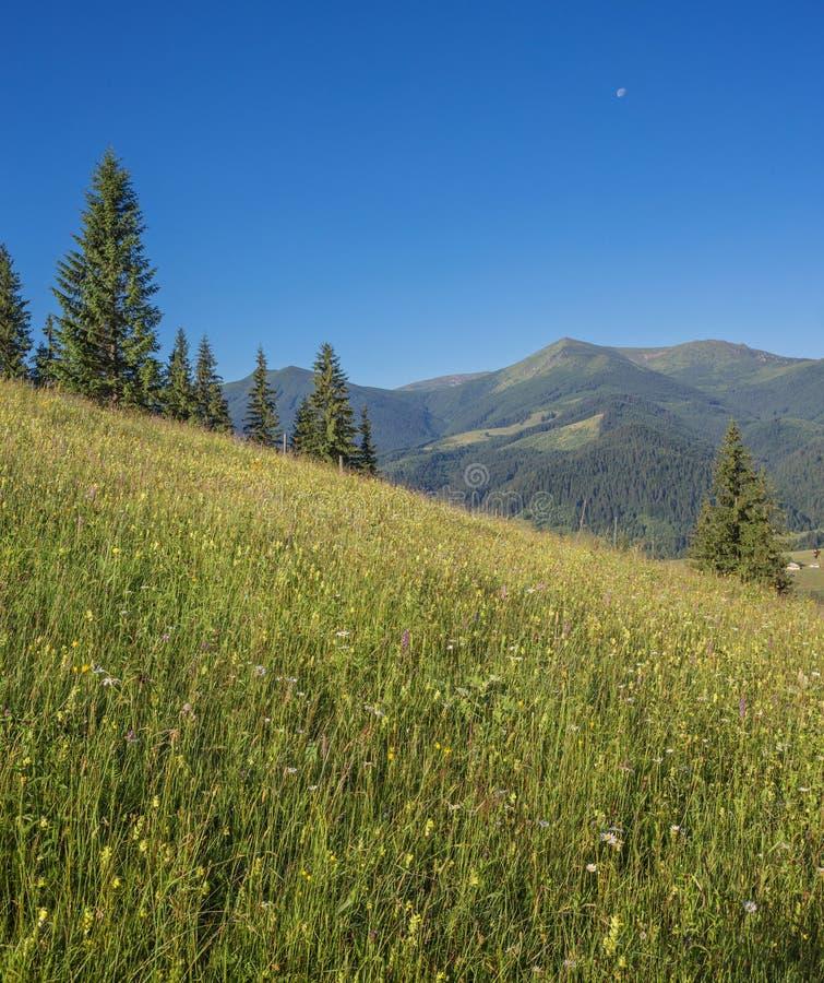 The alpine fields grow beautiful spring. Wild daffodils royalty free stock photos