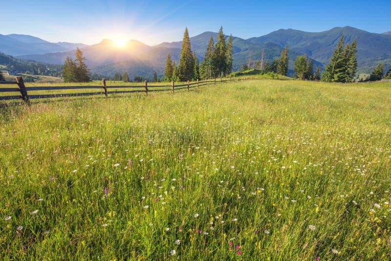 The alpine fields grow beautiful spring. Wild daffodils royalty free stock photo
