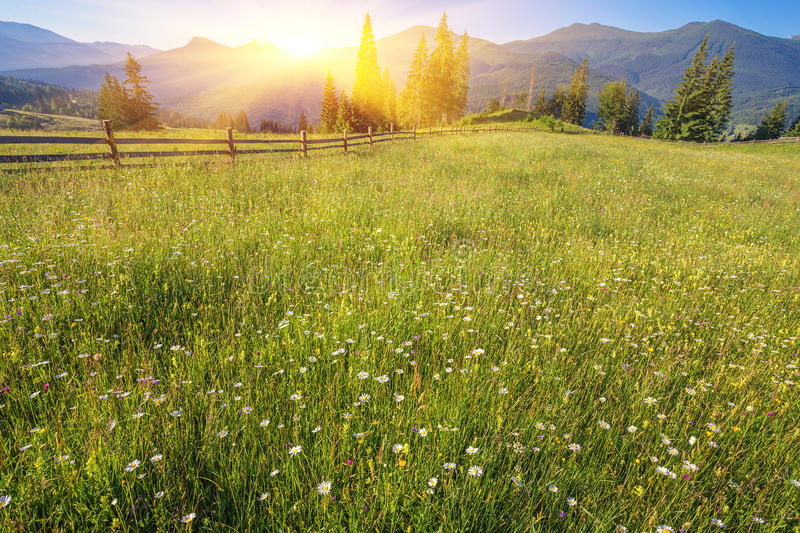 The alpine fields grow beautiful spring. Wild daffodils stock images