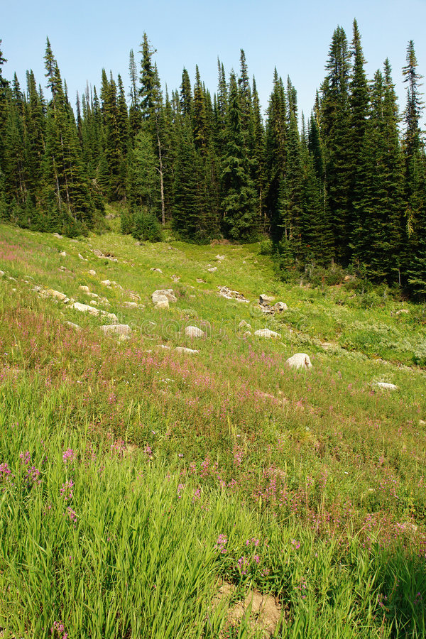 Alpine forest and meadow stock image