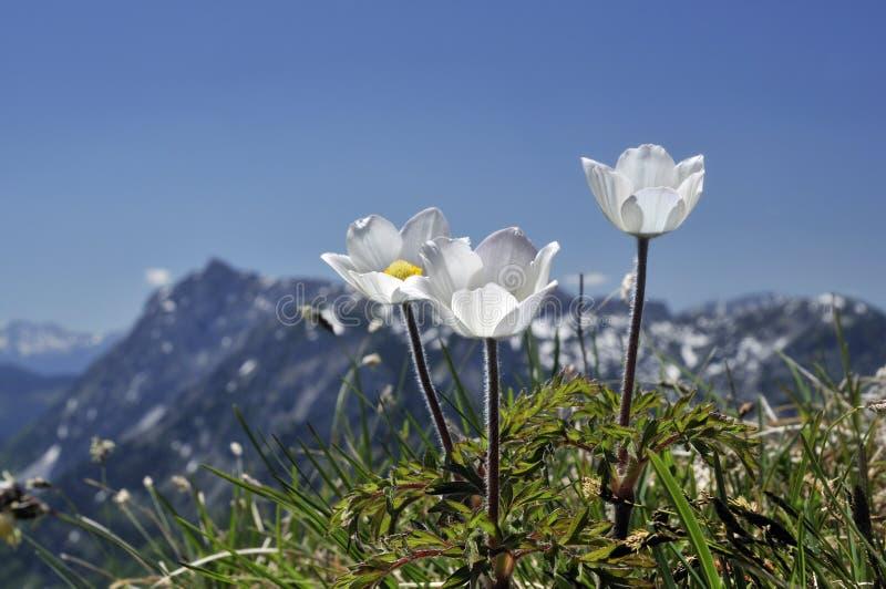 Alpine hölzerne Anemone stockfoto