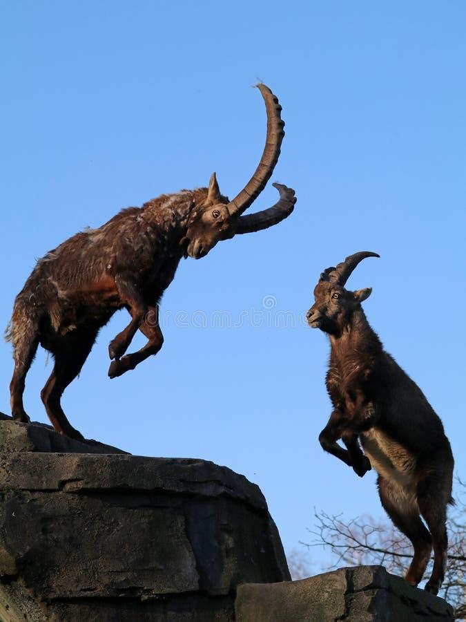 Free Alpine Ibex Royalty Free Stock Images - 107513769