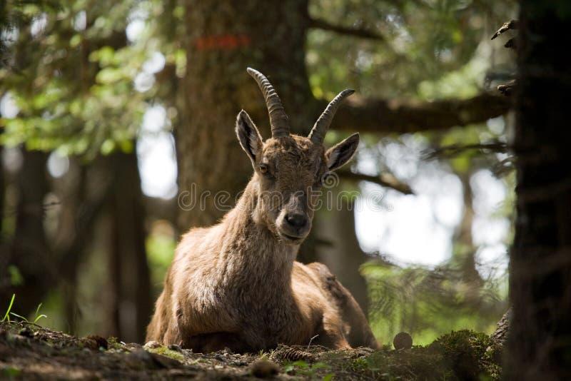 Download Alpine ibex stock photo. Image of wilderness, alpine - 12111562