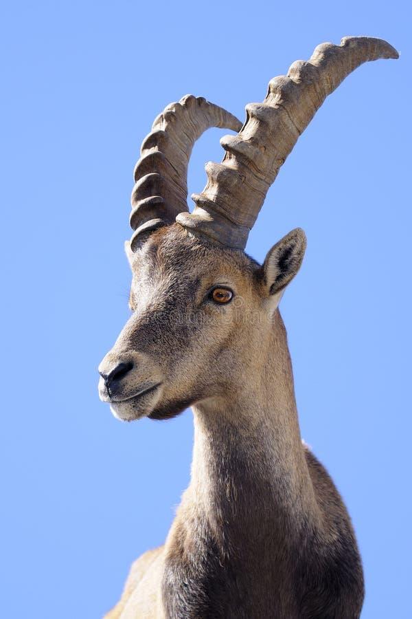 Alpine ibex. Steinbock - Portrait on blue background stock image