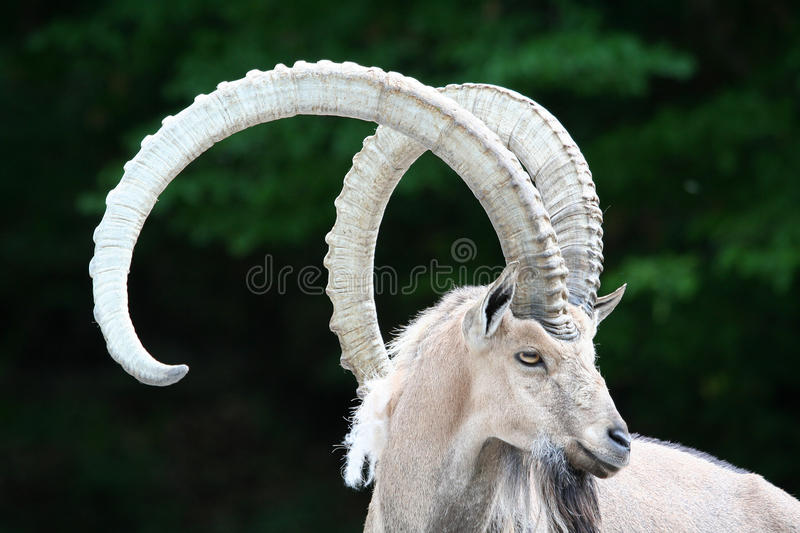 Alpine ibex. Portrait of a Alpine ibex with big horns royalty free stock photography