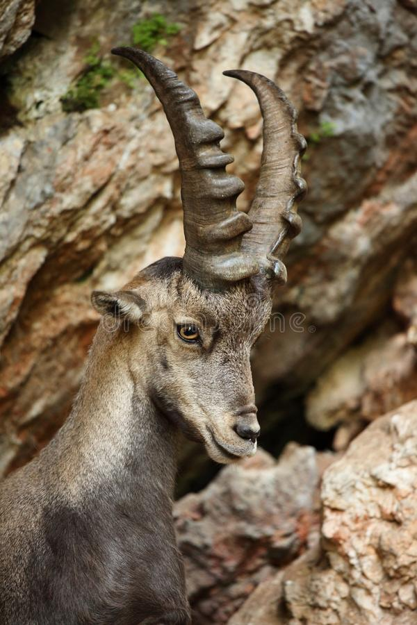 Alpine Ibex. Closeup in the mountains stock image
