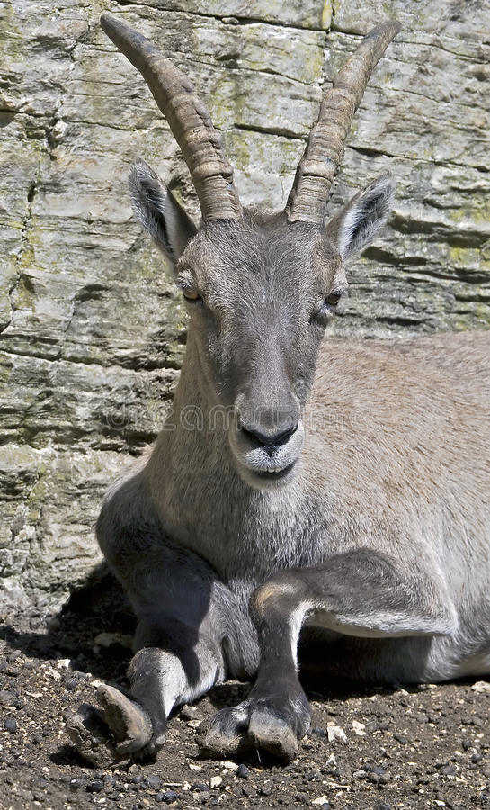 Download Alpine ibex 4 stock image. Image of nice, mountain, jump - 26751541