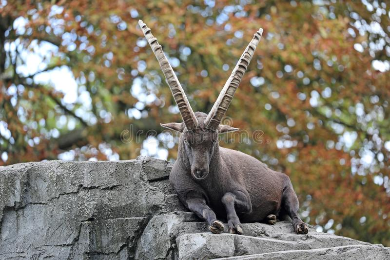 Alpine ibex. With an autumn colored background stock images