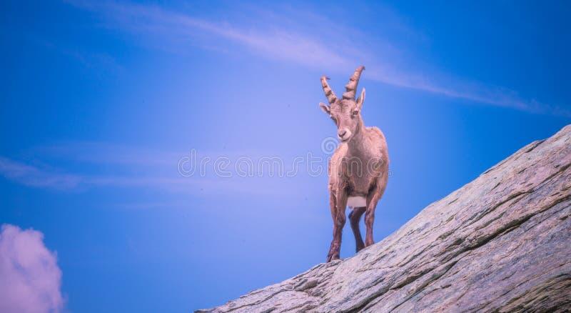 Alpine Ibex. Capra ibex wild goat in his habitat. Monte Rosa, Aosta Valley, Italy stock photography