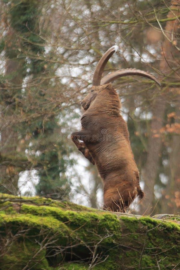 Download Alpine ibex stock image. Image of northern, mammal, rock - 109593037