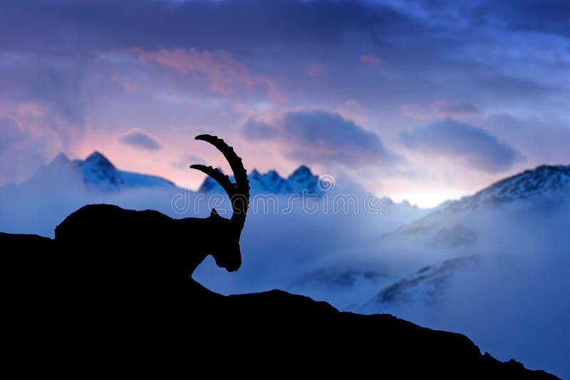 Alpine Ibex, animal in nature rock habitat, France. Twilight night in the high mountain. Ibex silhouette with dark evening clouds. In the Alps. Mountain royalty free stock image
