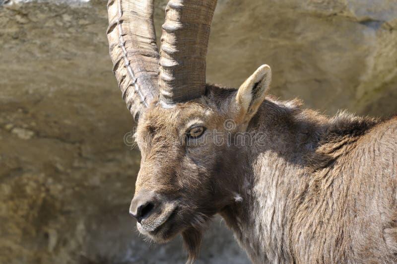 Alpine ibex, capra Ibex. Staring at you royalty free stock photos