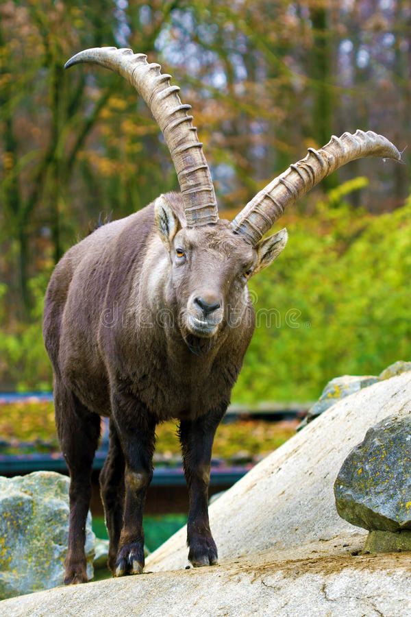 Alpine ibex (Capra ibex). The Alpine ibex (Capra ibex), also known as the Steinbock, is a species of wild goat that lives in the mountains of the European Alps royalty free stock image