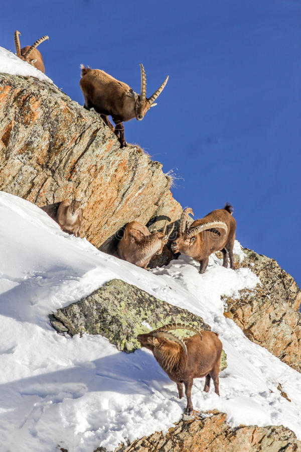 Alpine ibex (Capra ibex) family - Italian Alps. Alpine ibex (Capra ibex) family - male, female and young - Italian Alps royalty free stock photography