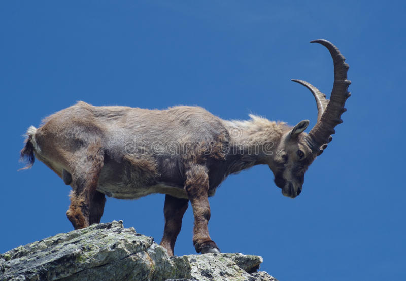 Alpine ibex (Capra ibex). Alpine ibex on the rock. The Alpine ibex, also known as steinbock, is a species of wild goat that lives in the Alps at high altitude royalty free stock photos