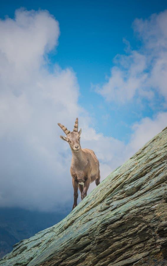 Alpine Ibex. Capra ibex wild goat in his habitat. Monte Rosa, Aosta Valley, Italy stock image