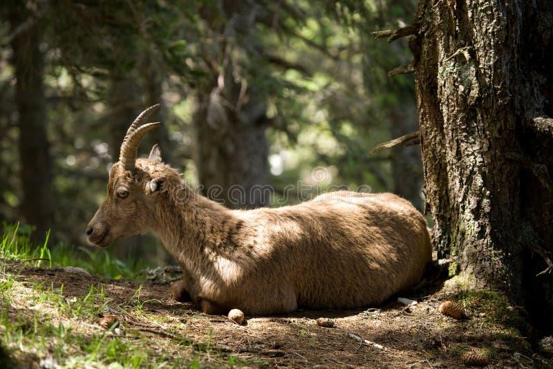Alpine Ibex, Capricorn Stock Images