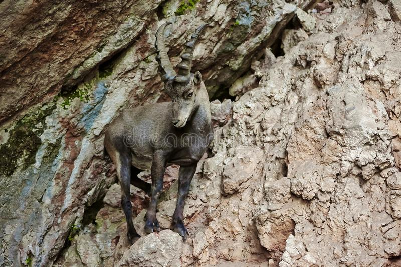 Alpine Ibex. Closeup in the mountains royalty free stock image