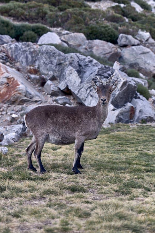 Alpine ibex eller Capra pyrenaica på bergets toppmöte mot stenarna i bergsområdet Sierra de Gredos arkivbilder