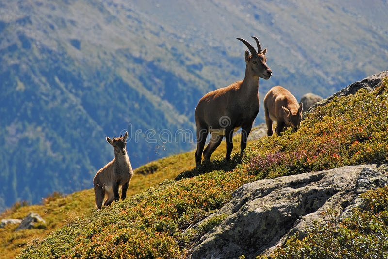 Alpine Ibex family. A mother Alpine Ibex and two young ones taken inside the Aiguilles Rouges National Nature Reserve next to Chamonix stock images
