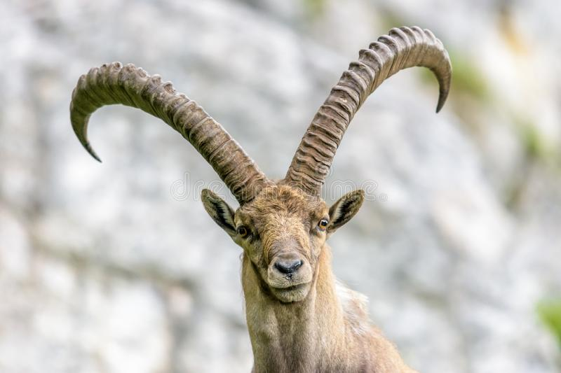 Alpine ibex. In front of rock face stock image